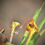 Fliege gefangen durch Droserasonnentau Lizenzfreies Stockfoto