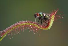 Fliege gegessen durch Anlage Lizenzfreie Stockfotos