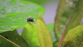 Fliege gelandet auf nassen Blättern stock footage