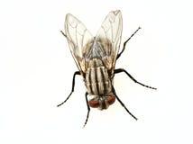 Fliege getrennt lizenzfreies stockbild