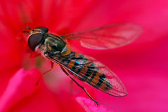 Fliege im Rot Stockfoto
