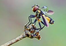 Fliege mit Tropfen des Wassers Stockfotos