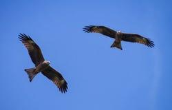 Fliege mit zwei Schwarzmilanen, Adler Stockbilder