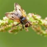 Fliege (Musca domestica) Lizenzfreie Stockfotografie
