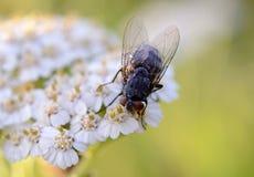 Fliege - Nahaufnahme Arkivbild