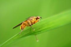 Fliege - Scatophaga stercoraria Lizenzfreie Stockbilder