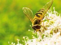 Fliege und die Wespe Lizenzfreies Stockfoto
