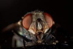 Fliege, welche die Kamera betrachtet Stockbild