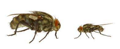 Fliege in zwei Varianten Lizenzfreie Stockfotos