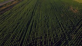 Fliegen über das Feld von grünen Erbsen Luftvermessung stock video footage