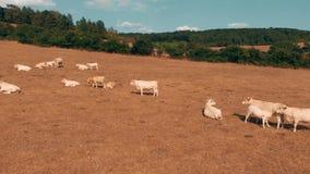 Fliegen über die Herde von den Kühen, die auf gelbem Feld am Sommertag weiden lassen Wolken auf dem blauen Himmel und dem gelben  stock video