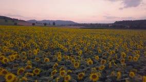 Fliegen über ein Sonnenblumenfeld an der Dämmerung stock video