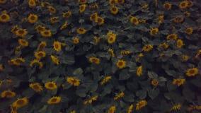 Fliegen über ein Sonnenblumenfeld an der Dämmerung stock video footage