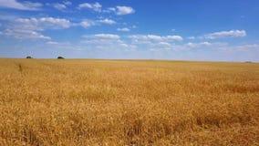 Fliegen über goldenes Weizenfeldvideo stock footage