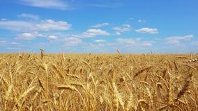 Fliegen über goldenes Weizenfeldvideo stock video