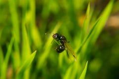 Fliegen-Ameise versucht, mit Grasmakrofoto oben zu fliegen Stockfotografie