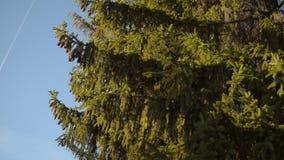 Fliegen auf den Hintergrund der Tanne stock video footage