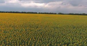 Fliegen auf ein Brummen über einem Sonnenblumenfeld Sonnenblumennahaufnahme Baum auf dem Gebiet helle gelbe Blume mit Biene in de stock video footage