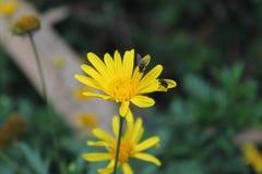 Fliegen auf einer Blume Lizenzfreie Stockfotos