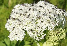Fliegen auf pushki Blumenkopf Stockfotos