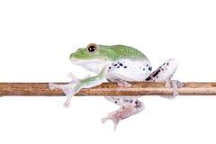 Fliegen-Baumfrosch des Grüns hinterer auf Weiß Stockfoto