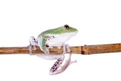 Fliegen-Baumfrosch des Grüns hinterer auf Weiß Stockfotos