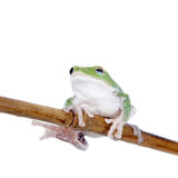 Fliegen-Baumfrosch des Grüns hinterer auf Weiß Lizenzfreie Stockfotos