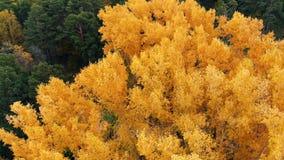 Fliegen ?ber den bunten Treetops an einem sonnigen Tag Herbstb?ume in der gelben, orange und roten Waldansicht von oben Herbst stock video