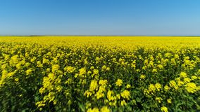 Fliegen ?ber erstaunlichem hellem gelbem Feld mit einem blauen Himmel auf dem Hintergrund schu? Gelbe Blumen und gr?ne St?mme stock footage