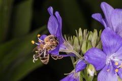 Fliegen Biene und Polemonium caeruleum Lizenzfreies Stockbild