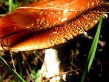 Fliegen-Blätterpilz Lizenzfreies Stockbild