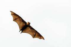Fliegen brauner Fledermaus für irgendwo Stockfotografie