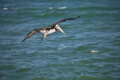 Fliegen-Brown-Pelikan, Pelecanus occidentalis, Paracas - Peru Lizenzfreie Stockbilder