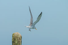 Fliegen der Flussseeschwalbe Lizenzfreie Stockfotos