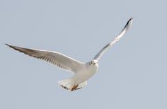 Fliegen der Seemöwe (Kamome) stockfoto