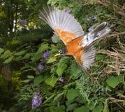 Fliegen der Wanderdrossel (Turdus migratorius) Lizenzfreie Stockbilder