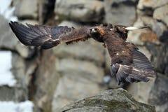 Fliegender goldener Adler mit Felsen im Hintergrund Lizenzfreie Stockfotografie