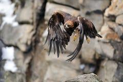 Fliegender goldener Adler mit Felsen im Hintergrund Lizenzfreie Stockfotos