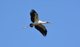 Fliegen des hölzernen Storchs obenliegend Stockfotografie