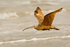 Fliegen des lang berechneten großen Brachvogels Stockfoto