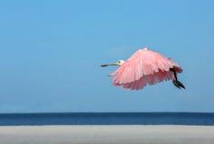 Fliegen des rosa Spoonbill durch das Golf von Mexiko Lizenzfreie Stockfotografie