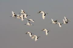 Fliegen des rot-gekrönten Kranvogels Stockfotos
