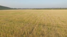 Fliegen in die Luft über Weizenfeld stock video