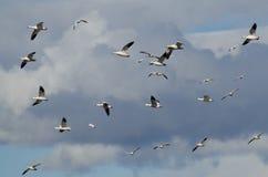 Fliegen in die Wolken mit den Schnee-Gänsen Stockfoto