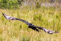 Fliegen Eagle Stockfotos