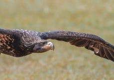 Fliegen Eagle Lizenzfreie Stockbilder