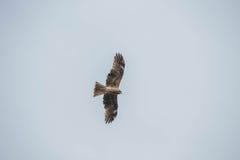 Fliegen Eagle Lizenzfreie Stockfotografie