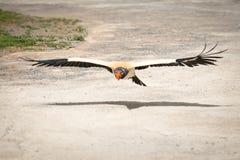 Fliegen Eagle lizenzfreie stockfotos