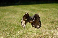 Fliegen Eagle Owl Lizenzfreies Stockbild
