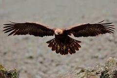 Fliegen Eagle Vogelverhalten im felsigen Berg Jäger mit Fang Steinadler im grauen Steinlebensraum Steinadler, Aquila-chrysa Lizenzfreie Stockbilder